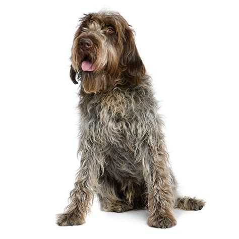 wirehaired pointing griffon puppy wirehaired pointing griffon see description and pictures of this breed
