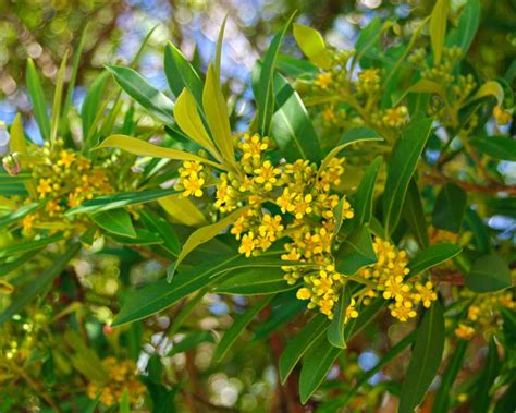 gardensonline tristaniopsis laurina