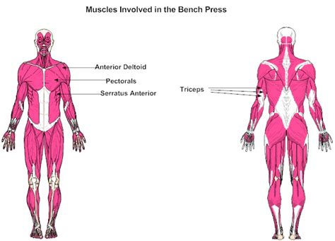 bench muscles muscles involved in the bench press