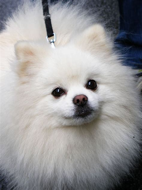 breed pomeranian pomeranian small breeds dbcentral