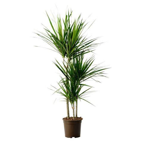 pianta appartamento piante da appartamento sempreverdi piante appartamento