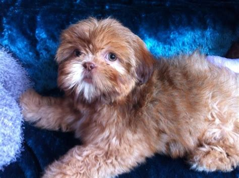 liver shih tzu puppies orange liver shih tzu from imperial lines durham county durham pets4homes