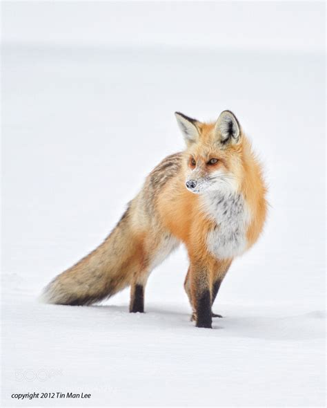 the man red fox photograph snow covered snout red fox by tin man on 500px