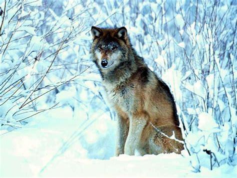 per sfondi desktop immagini sfondo lupi foto lupo piu