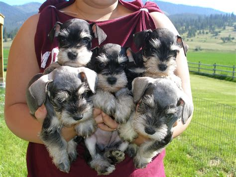 mini dogs dogs miniature schnauzer puppies