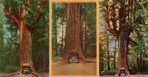 Chandelier Redwood Tree Drive Thru Trees Jared Farmer
