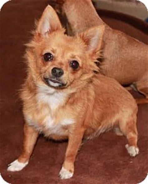 pomeranian nj newark nj chihuahua pomeranian mix meet painter a puppy for adoption