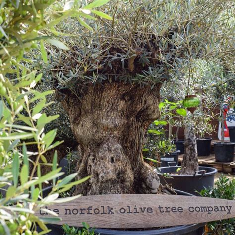 how much does olive trees cost gnarly olive tree specimens for sale girth bark instant impact