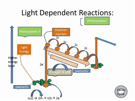 related keywords suggestions for light dependent reaction