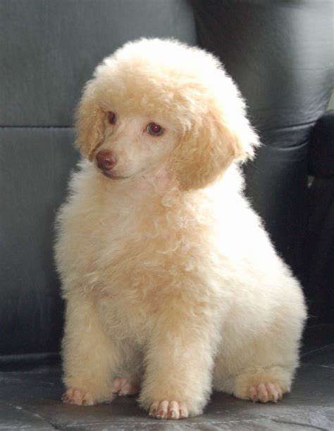 toy poodle haircuts pictures toy poodle haircuts pictures hairstyle gallery