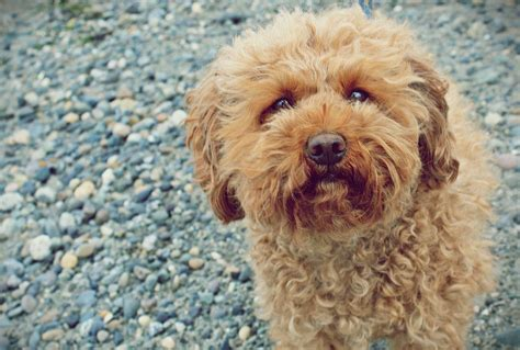 mini doodle facts labradoodle information pkhowto