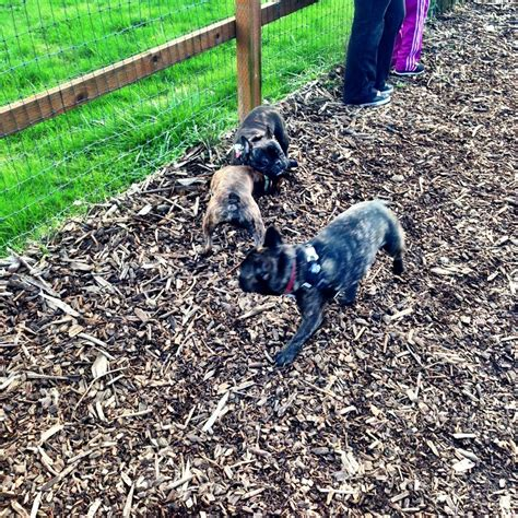 dogs puppies for sale in portland or ebay classifieds portland bulldog meetup