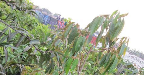 Bibit Buah Duren tanaman buah akar poli duren montonk