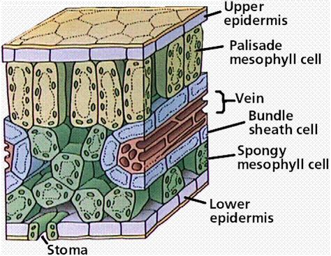 leaf structure cross section www pixshark images