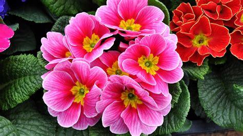 la primula fiori foto gratis primula fiori di primavera motley