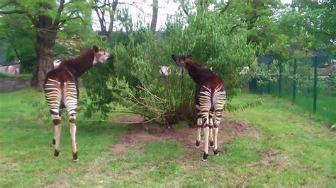 zoologischer garten breslau okapi zoo wrocław
