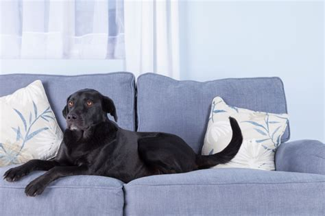 dog on sofa 9 tips for choosing pet friendly furniture