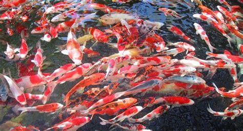 Bibit Ikan Koi Bandung gambar ikan koi jepang aneka info unik