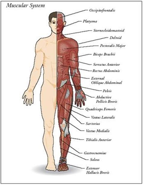 sections of body design parts of the muscular system the muscular system