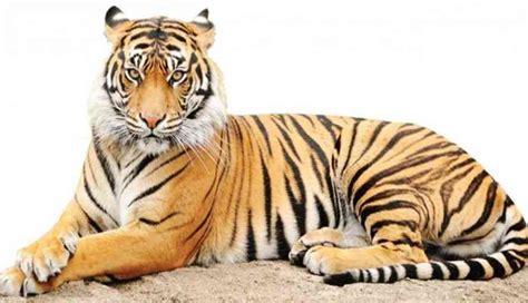 Harimaun Sumatera harimau sumatera tertua di jepang akhirnya mati trubus news