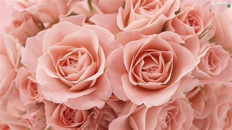 salmon colored flowers background salmon roses flowers wallpapers 1600x900
