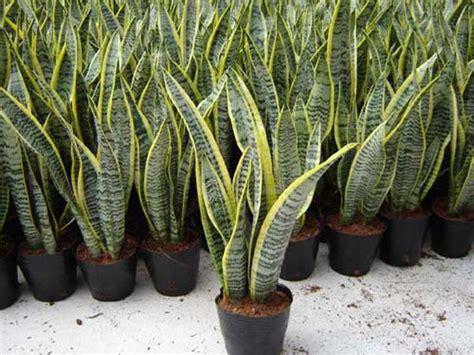 jual tanaman lidah mertua murah  denpasar tanaman hias