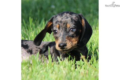 dachshund puppies michigan dachshund mini puppy for sale near grand rapids michigan da4e08bf cd71