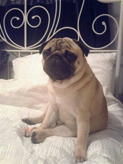 do pugs fall out 98 best images about carlini on baby goats pug and planking