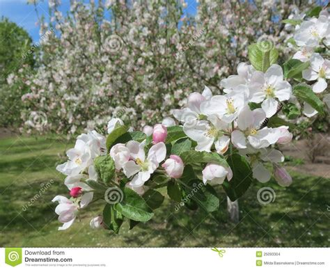 blooming apple tree stock images image 25093304
