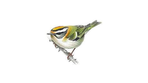 firecrest bird facts regulus ignicapillus  rspb