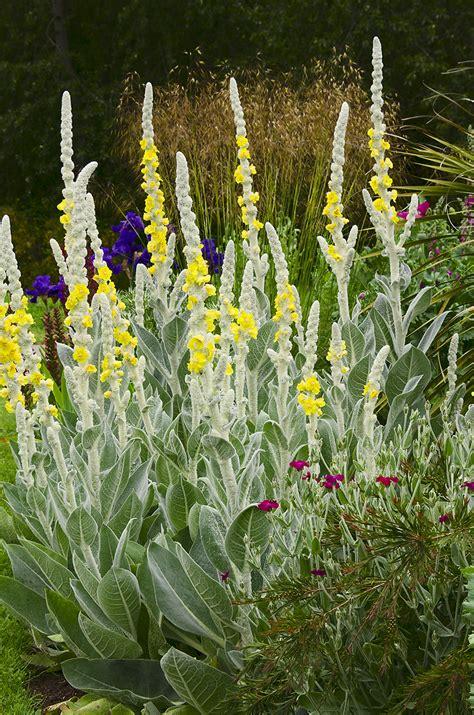 Linda cochran s garden verbascum bombyciferum