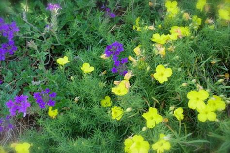 Square Colorful Chich Primrose garden in the sun deb s garden deb s garden