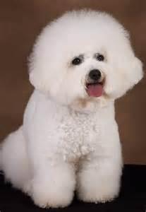 Cute dogs cute bichon frise dog