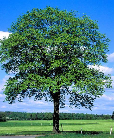 Roter Japanischer Ahorn 313 by Bonsai Baum Bonsai Baum Einebinsenweisheit