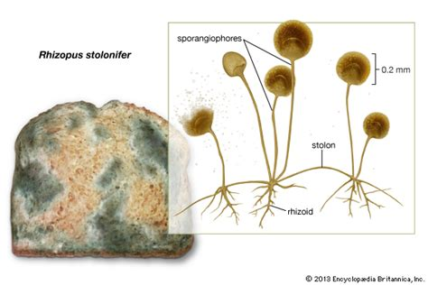 diagram of bread mould rhizopus stolonifer fungus britannica