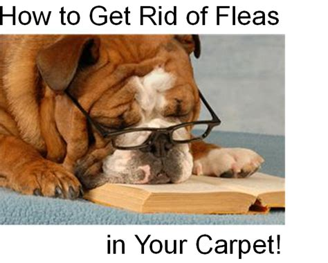 how to get rid of fleas on bed does carpet cleaning kill fleas onvacations wallpaper