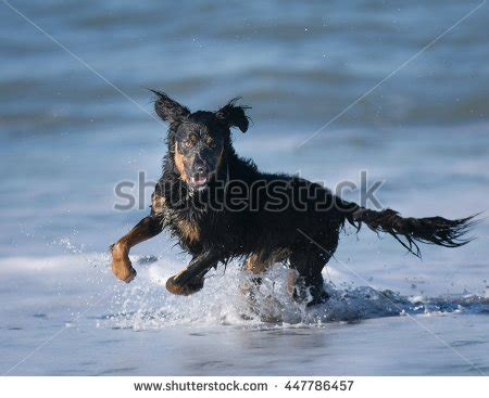 sand flats golden retrievers sand francisco stock photos images pictures