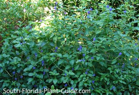 blue flowering shrubs in florida blue porterweed