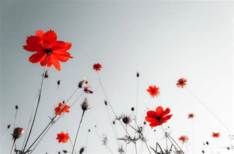 significato dei fiori papavero papavero significato significato fiori papavero
