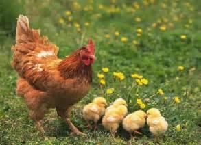 Baby chicks and ducks