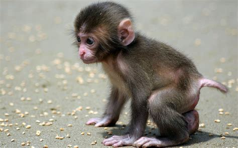 Monkey Wallpaper by Baby Monkey Wallpapers Images