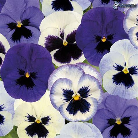viole fiori immagini fiori viola
