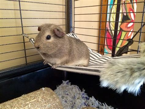 diy hamster bedding 1000 ideas about guinea pig bedding on pinterest guinea