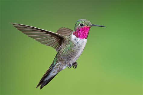 Humming Bird different types of hummingbirds hummingbirds plus