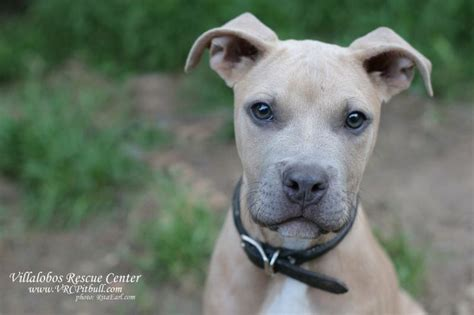 adopt a pitbull puppy villalobos pit bulls for adoption breeds picture