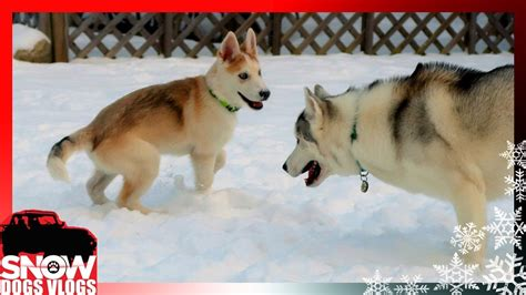 snow dogs vlogs husky puppy play time