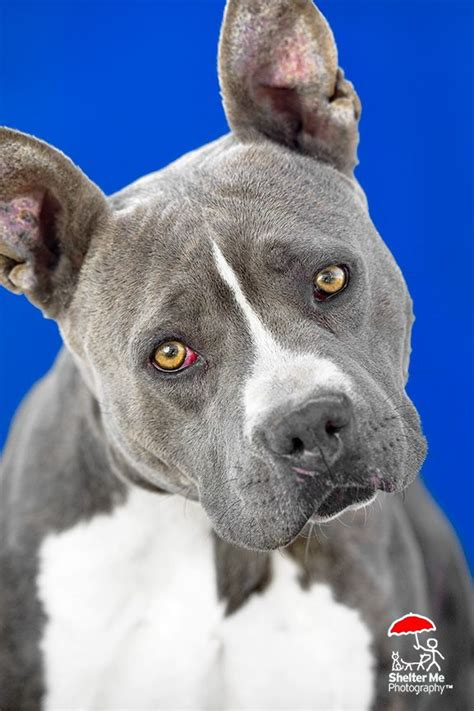 adoption places near me 17 best images about save me adopt mountain west dogs on pit bull