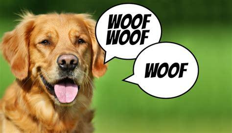 do golden retrievers bark a lot k9costarstraining 187 call barking golden retriever