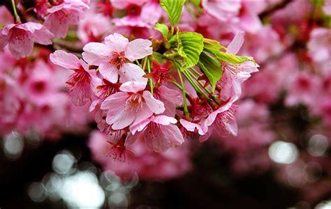 imagenes de rosas japonesas fondos de pantalla floraci 243 n de 225 rboles sakura cerezo