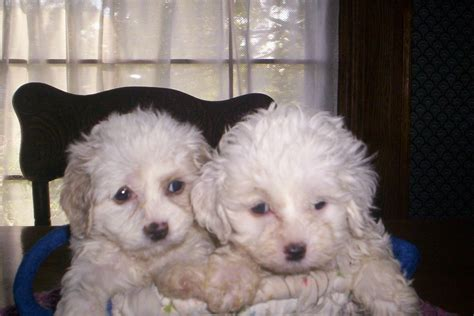 temples homegrown puppies page title
